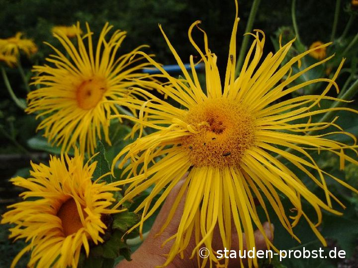 Inula magnifica 'Sonnenstrahl' - Riesenalant